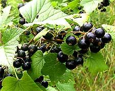 Photo of Blackcurrants