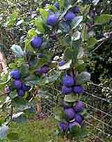 Photo of Damsons