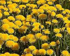 Photo of Dandelions