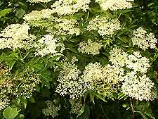 Photo of Elderflowers