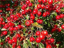 Photo of Hawthorn Berries