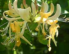 Photo of Honeysuckle