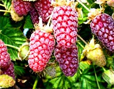 Photo of Loganberries