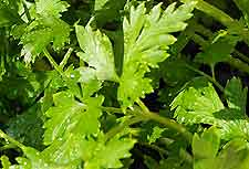 Photo of Flat Leafed Parsley
