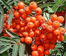 Photo of Rowan Berries