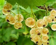 Photo of Whitecurrants
